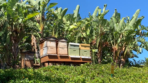 Fairmont Orchid's honey bees.