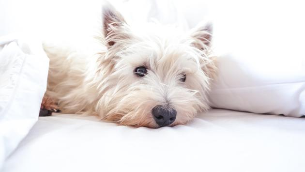 A dog relaxing in a hotel bed