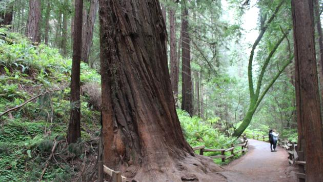 Muir Forest in San Francisco
