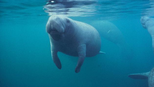 Manatee just below the water's surface