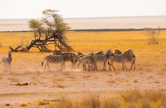 Zebras viewed during a Namibia safari