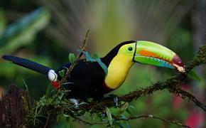 Tropical bird in the Costa Rican rainforest