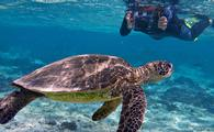 Sea turtle, Oceanic Society