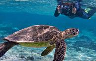 Sea turtle, Oceanic Society