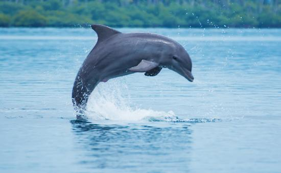 Bottle-nose dolphin jumping in Caribbean sea