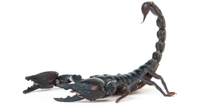 A scorpion