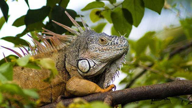 iguana in Puerto Vallarta