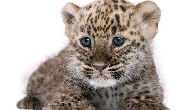 leopard, baby leopard, cub