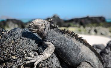 Marine Iguana in Galapagos Islands, G Adventures
