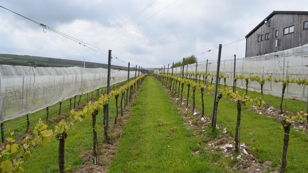 Vignoble de Trevibban, Cornwall