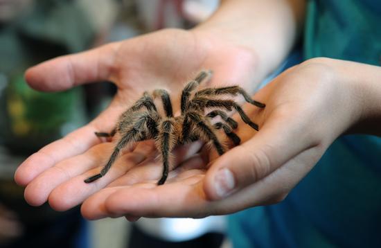 A tarantula up close