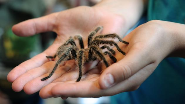 A tarantula up close