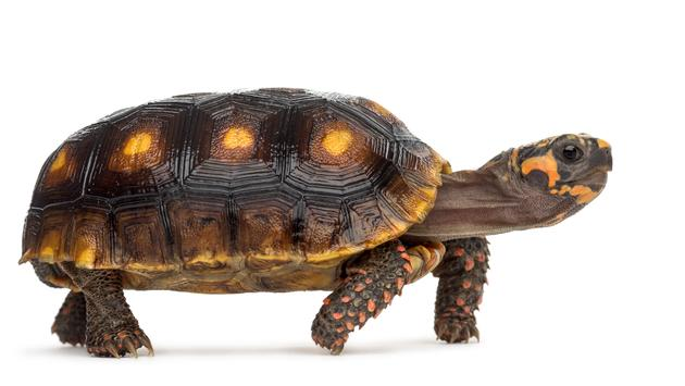 turtle, tortoise, animal