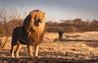 African lion surveying the savannah
