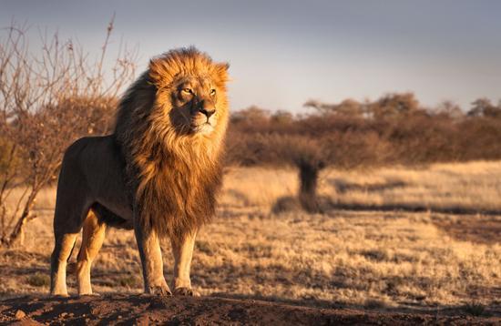 African lion surveying the savannah