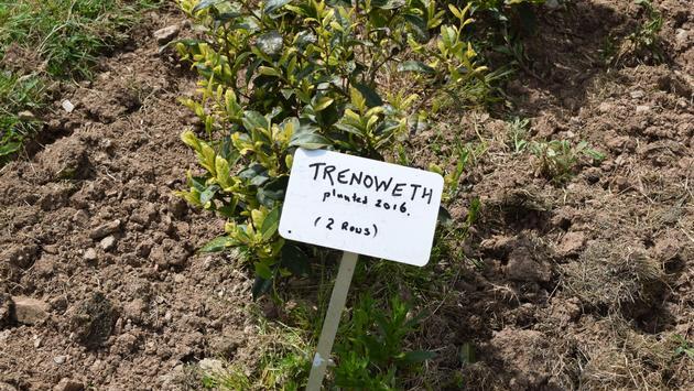 Plantation de thé Tregothnan, à Cornwall
