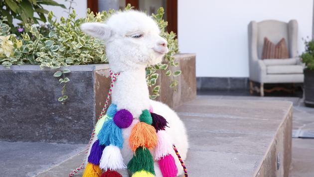 Hotel, JW Marriott El Convento, Panchita, alpaca, animal