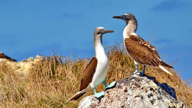 Blue Footed Booby on Isla Isabel