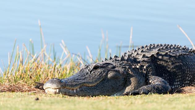 Alligator at a resort