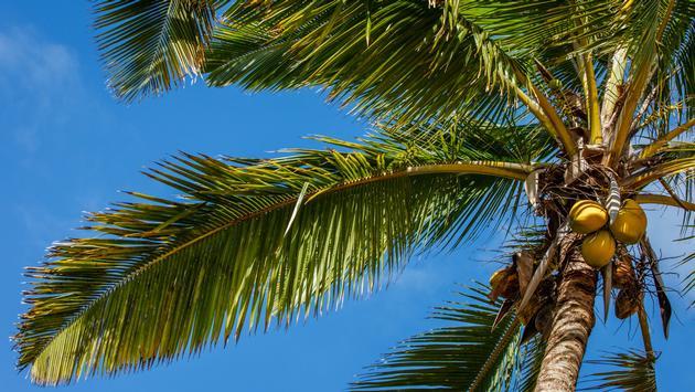Coconut Palm Tree, Kaua'i.