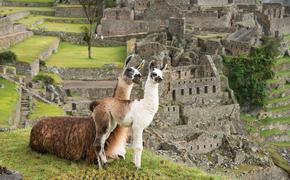 Machu Picchu Alpaca