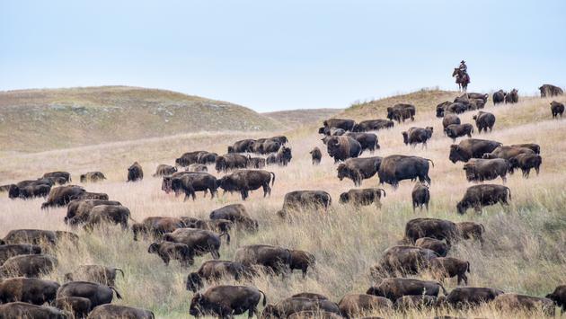 South Dakota Buffalo Roundup