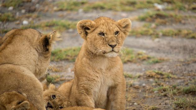 Lion cub in Tanzania.