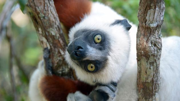Lemur in Madagascar.