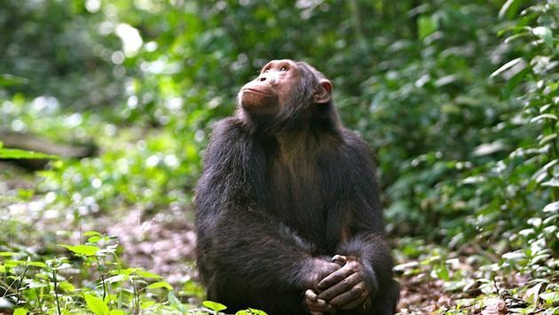 Kyambura chimp in Kyambura Gorge, Africa