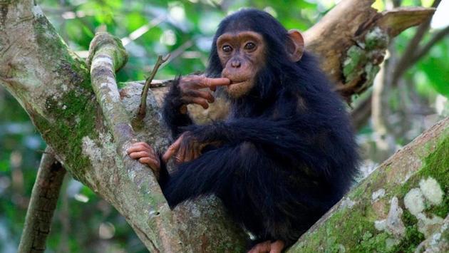 Kyambura chimp, in Kyambura Gorge, Uganda