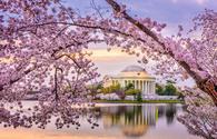 Cherry blossoms over the Jefferson Memorial, Washington D.C.