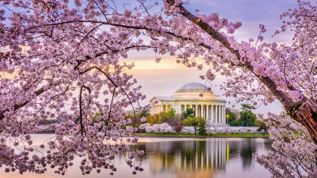 Cherry blossoms over the Jefferson Memorial, Washington D.C.