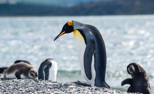 King Penguin walks among some Magellanic penguins in Tierra del Fuego, Patagonia,