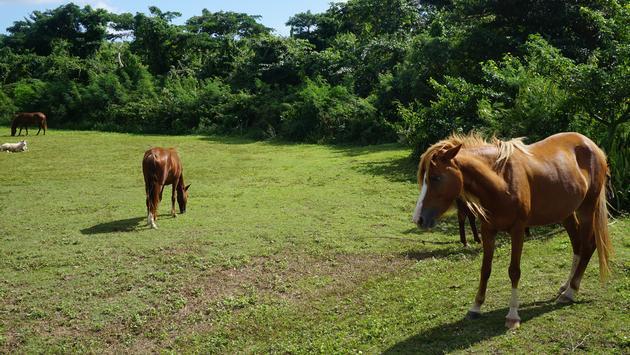 Horses roam freely around Vieques.