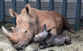 Baby Rhino Born at Disney's Animal Kingdom