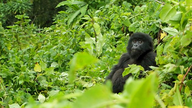 Young mountain gorilla in Rwanda