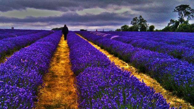 Surrey Lavender Farm, United Kingdom