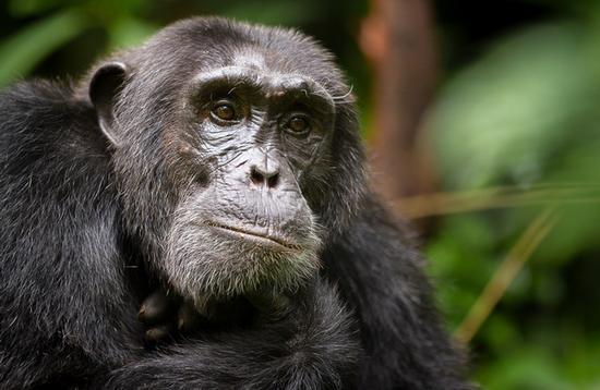 A Chimpanzee on Ngamba Island on Lake Victoria in Uganda