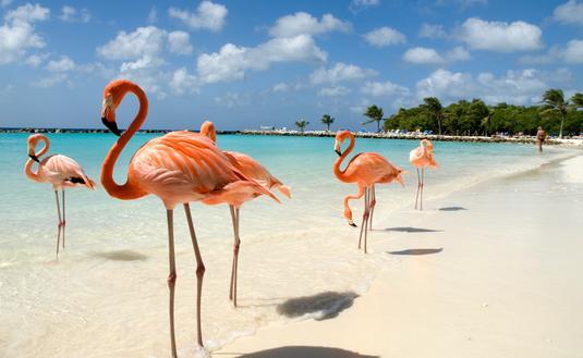 Flamingos standing close to the sea on a beach in Aruba.