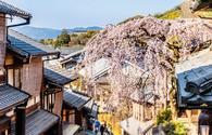 Higan cherry tree in full bloom in Kyoto, Japan.