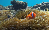 Clownfish residing on the Great Barrier Reef