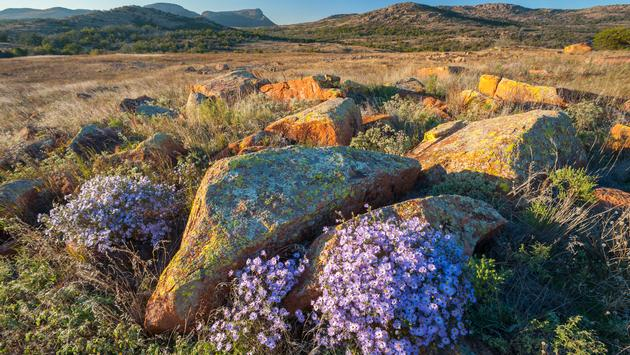 These asters were photographed at sunset with Mount Sheridan in the far background in the Wichita Mountains of Oklahoma. (GracedByTheLight / iStock / Getty Images Plus)