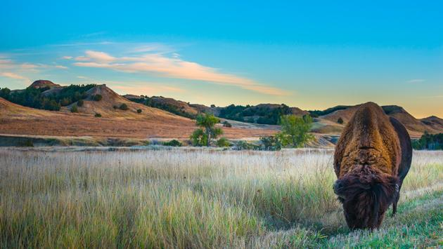 Wild Buffalo roaming near the campground in the Badlands National Park South Dakota (photo via kwiktor / iStock / Getty Images Plus)