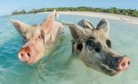 In Big Major Cay, the Exumas, you can get very close to the famous swimming pigs. Bahamas, December (photo via bearacreative / iStock / Getty Images Plus)