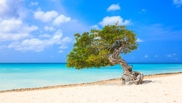 Aruba, Netherlands Antilles. Divi divi tree on the beach (Photo Via sorincolac / iStock / Getty Images Plus)