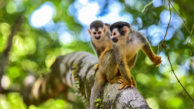 Squirrel Monkey on branch of tree in rainforest of Costa Rica - animals in wilderness (photo via SimonDannhauer / iStock / Getty Images Plus)