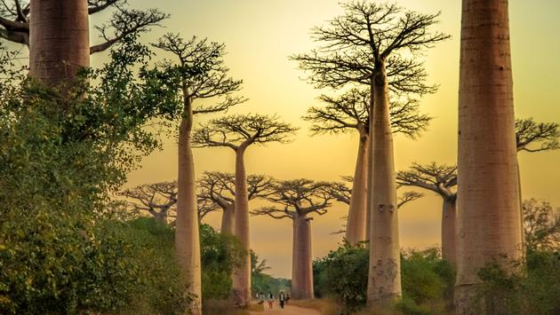 Sunset in the famous Avenida de Baobab near Morondava in Madagascar (photo via pawopa3336/iStock/Getty Images Plus)