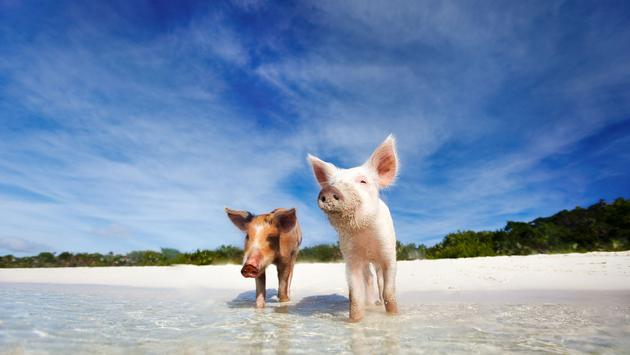 Swimming pigs of the Bahamas in the Out Islands of the Exuma near Georgetown (photo via shalamov/iStock/Getty Images Plus)