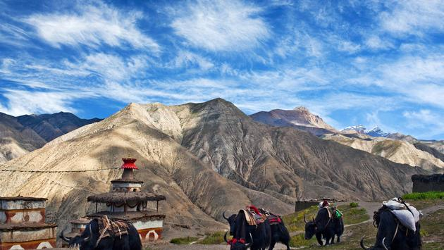 Caravan of yaks in Saldang village, Nepal. Saldang lies in Nankhang Valley, the most populous of the sparsely populated valleys making up the culturally Tibetan region of Dolpo. (Zzvet / iStock / Getty Images Plus)
