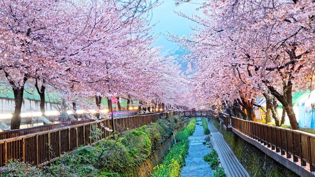 cherry blossoms, busan, south korea
